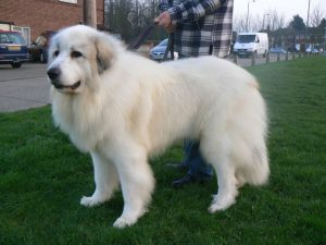pyrenean-mountain-dog-at-stud-5323597bdd314